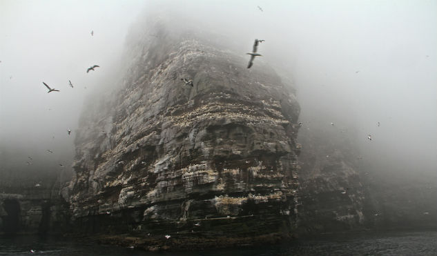 Black-legged-Kittiwake-fly-around-the-craggy-cliffs-of-Scotland1